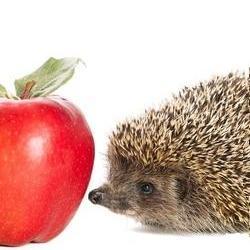 Igel schnuppert an einem roten Apfel
