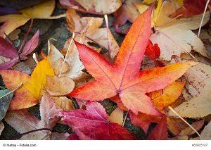 Herbst, Laub, farbenfrohe Blätter des Kanadischen Amberbaums, Liquidambar