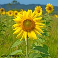 Wundervolle Sonnenblumen-Damen basteln